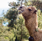 Kamel i skogen Fotografering för Bildbyråer