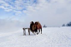 Kamel i snowen Arkivbilder