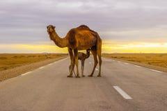 Kamel i väg Fotografering för Bildbyråer