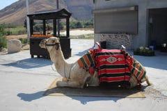 Kamel i wadiqeltöken och kloster av helgonet George Koziba nära Jericho arkivfoto