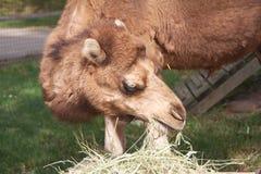 Kamel i Zoo Royaltyfri Fotografi