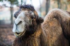 Kamel i zoo som äter gräs Arkivbild