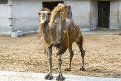 Kamel i zooen Royaltyfria Foton
