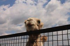 Kamel i zooen Arkivbilder