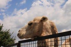 Kamel i zooen Arkivbild