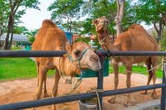 Kamel im Bauernhof, Thailand Lizenzfreies Stockfoto