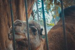 Kamel im Käfig Lizenzfreies Stockbild