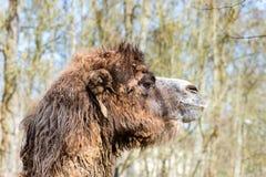 Kamel im Profil mit etwas offenem Mund Stockbilder