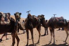 Kamel im Sahara, Afrika Stockbilder
