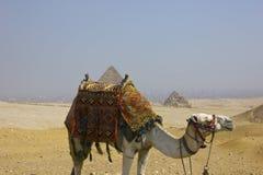 Kamel im Wüstensand, Ägypten Stockbilder