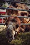 Kamel im Zirkus lizenzfreies stockbild