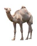 Kamel isolerad vit Arkivfoton