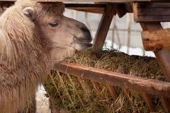 Kamel isst Heu Stockfoto