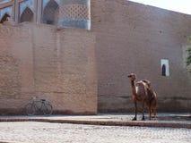 Kamel in Khiva lizenzfreies stockbild