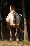 Kamel-Kolben Lizenzfreie Stockfotografie