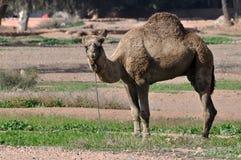 Kamel in Marrakesch lizenzfreie stockfotos