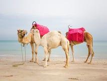 Kamel med behandla som ett barn Royaltyfri Bild