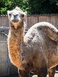 Kamel med den tomma knölen Arkivbilder