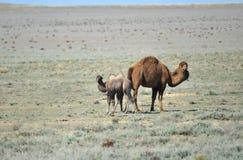 Kamel med hingstfölet Fotografering för Bildbyråer