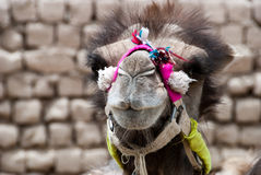 Kamel mit Dekorationen Stockfoto