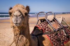 Kamel mit dem Sattel, der auf Strand in Australien stillsteht lizenzfreie stockbilder