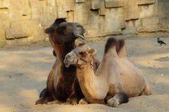 Kamel mit einem jungen Kamel Stockfoto