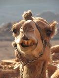 Kamel mit einer Kette auf dem Gesicht Egypt Stockbilder