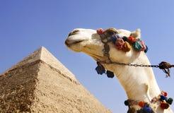 Kamel mit einer Pyramide im Hintergrund Lizenzfreies Stockbild
