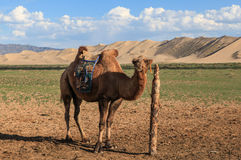Kamel in Mongolei Lizenzfreies Stockbild