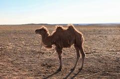 kamel mongolia Fotografering för Bildbyråer