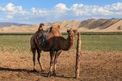 kamel mongolia Royaltyfri Bild