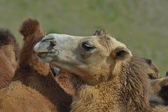 Kamel Mongoliet Royaltyfria Bilder