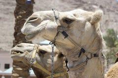 Kamel mot den gamla staden av Jerusalem Arkivfoton