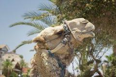 Kamel mot den gamla staden av Jerusalem Arkivbild