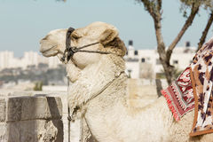 Kamel mot den gamla staden av Jerusalem Royaltyfria Bilder
