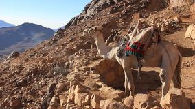 Kamel. Mount Sinai. Egypten arkivfilmer