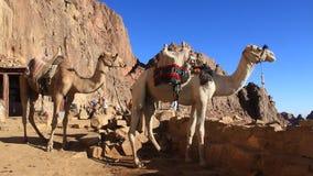 Kamel. Mount Sinai. Egypten lager videofilmer
