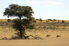 kamel nära oryxantiloptaggtree royaltyfria foton