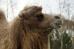 Kamel nahe upwith Hauptbäume im Hintergrund lizenzfreie stockbilder