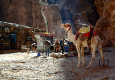 Kamel nahe Zelten mit Coca-Cola in PETRA Stockbilder
