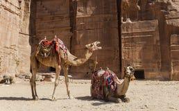Kamel near kungliga gravvalv Petra jordan Arkivbilder