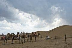 Kamel och öken med den molniga skyen Fotografering för Bildbyråer