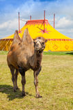 Kamel och cirkustält Fotografering för Bildbyråer