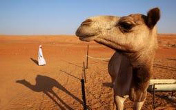 Kamel och en beduin Arkivfoton