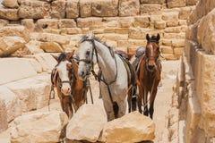 Kamel och Giza pyramider Arkivbilder
