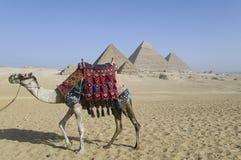 Kamel och pyramider arkivbild