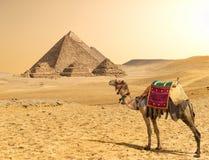Kamel och pyramider i rad arkivbild