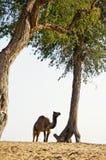 Kamel och träd Royaltyfria Bilder