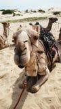 Kamel på öken Royaltyfria Foton