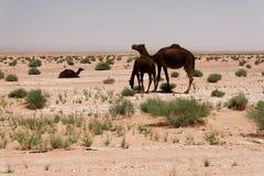 Kamel på öknen 1 royaltyfri foto